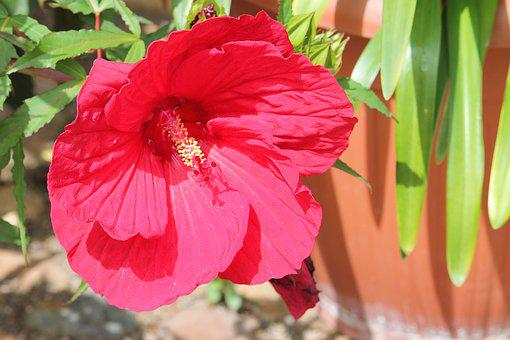 Hibiscus, Giant Hibiscus, Pink, Blossom, Bloom, Flower