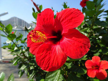 Hibiscus, Red, Blossom, Bloom