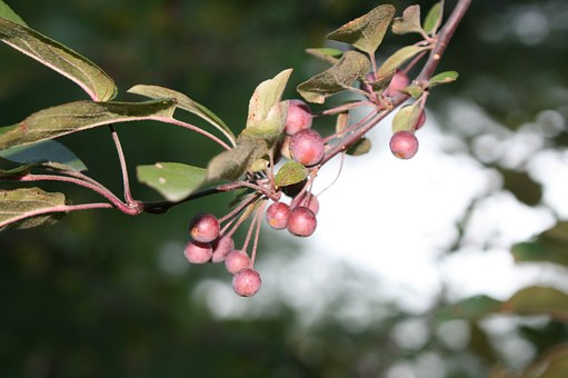 Tree, Berry, Christmas, Holiday, Season, Branch, Xmas