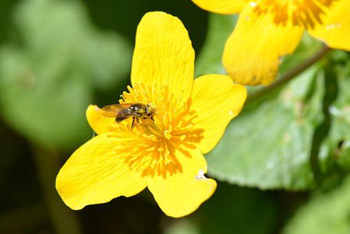 Bee, Pollen, Caltha Palustris, Collect