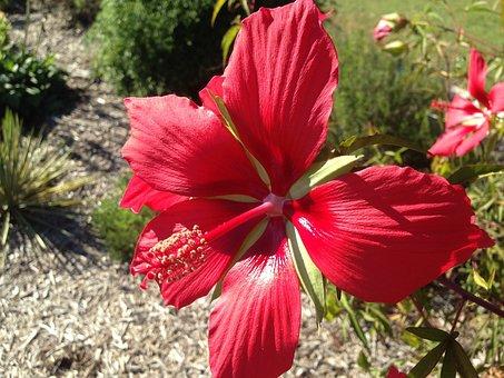 Plant, Flower, Bloom, Hibiscus Coccineus