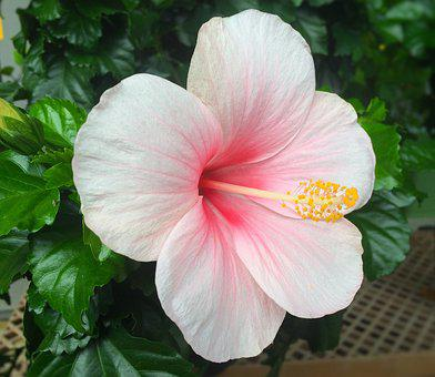 Flowers, Hibiscus, Southern Countries, Huang, Red