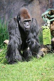 Paul, Gorilla, Zoo, San Diego, Silverback