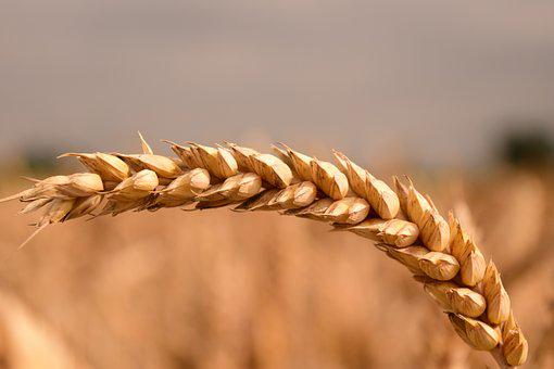 Wheat, Grain, Cereals, Close, Ear, Agriculture