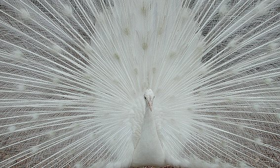 White, Peacock, Peafowl, Bird, Avian, Tropical