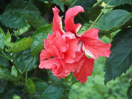 Red, Hibiscus, Flower, Tropical, Garden, Spa, Leaves