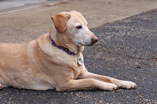 Dog, Pet, Golden Retriever, Labrador, Rescue, Yellow