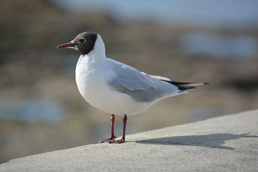 Seagull, Tern, Animals, Wild, Bird, Animal, Ornithology