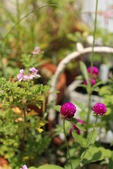 Sen'nichiko, Flowers, Sen Ted Geranium