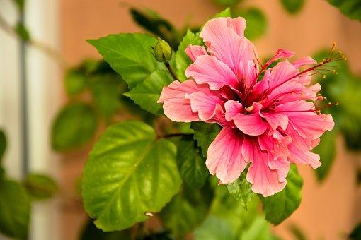 Chinese Rose, Flower, Pink, Garden, Summer, Hibiscus
