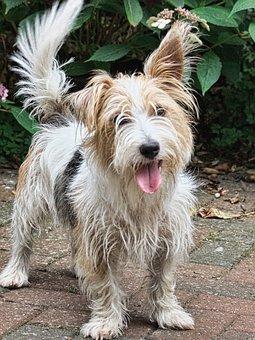 Westland Terrier, Dog, Companion, Animal, Pet, Terrier