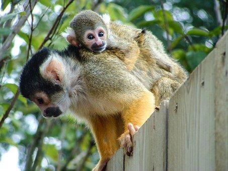 Apes, Zoo, Natural, Primate, Portrait, Wild, Monkey