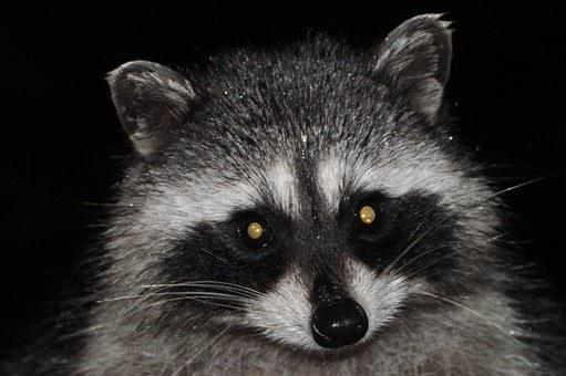 Raccoon, Varmint, Mammal, Masked, Wildlife, Cute