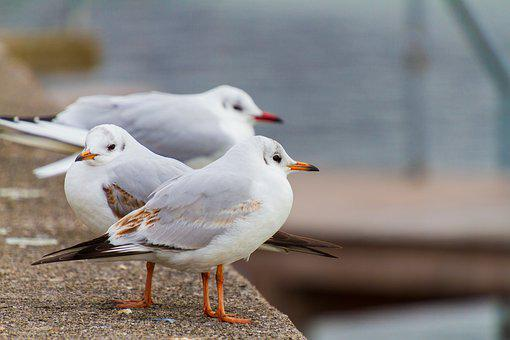 Seagull, Seevogel, Animal World, Bird, Feather, White