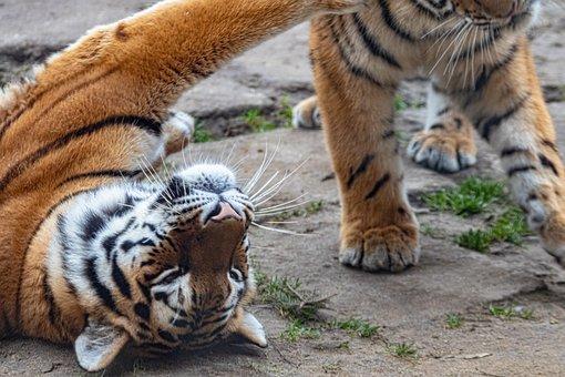 Tiger, Cat, Animal, Animal World, Predator, Carnivores
