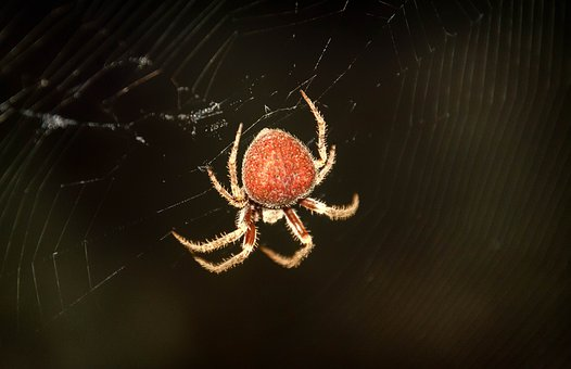 Spider, Arachnid, Nature, Insect, Hairy