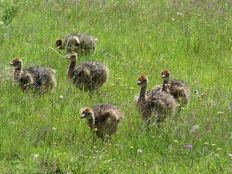 Strauss, Bouquet, Bird Bouquet, Ostrich