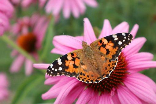 Vanessa Cardui, Butterfly, Orange