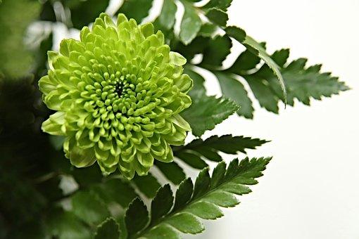 Chrysanthemum, Blossom, Bloom, Petals