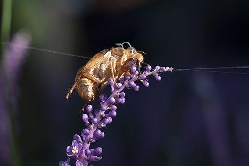 Cicada, Ecdysis, Liriope, Nature, Stripping Shell
