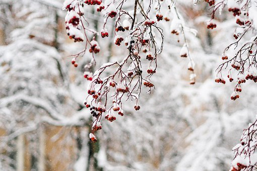 Winter, Snow, Mountain Ash, Frost, Cold