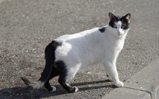 Cat, Pet, Domestic, Feline, Fur, White