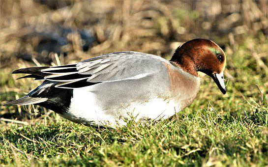 Wigeon, Bird, Waterbird, Duck, Bill, Feather, Nature