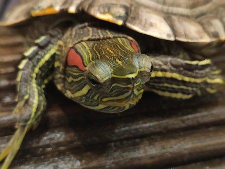 Turtle, Face, Red, Reptile, Muzzle
