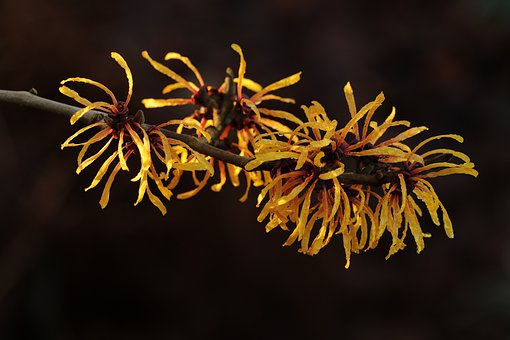 Hamamelis, Flower, Three, Winter