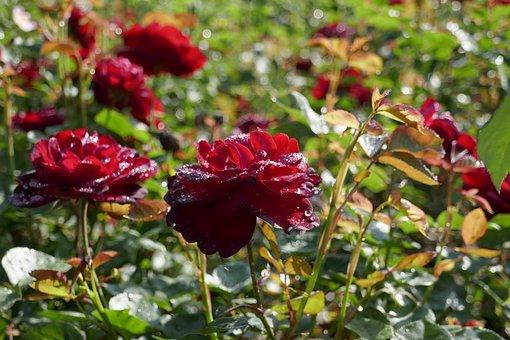 Roses, Moist, Drip, Red, Flowers, Flower, Petals, Plant