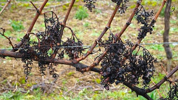 Wine, Grapes, Grapevine, Vine