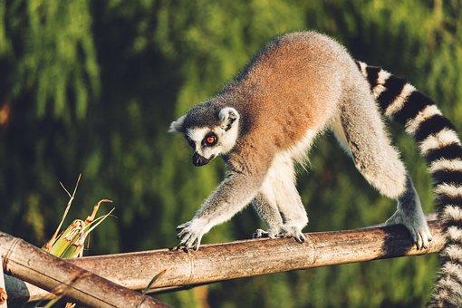 Lemur, Monkey, Animal, Cute, Sweet