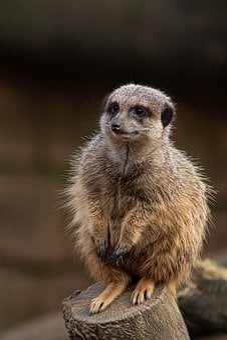 Animal, Meerkat, Cute, Animal World, Nature, Mammal