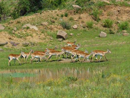 Lechwees, Marsh Antelopes, Africa, South Africa