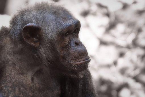 Chimpanzee, Monkey, Thoughtful, Animal World, Animal