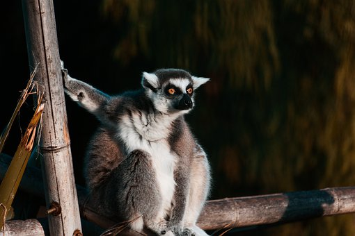 Lemurs, Monkey, Lemur, Cute, Sweet, Animals, Mammal