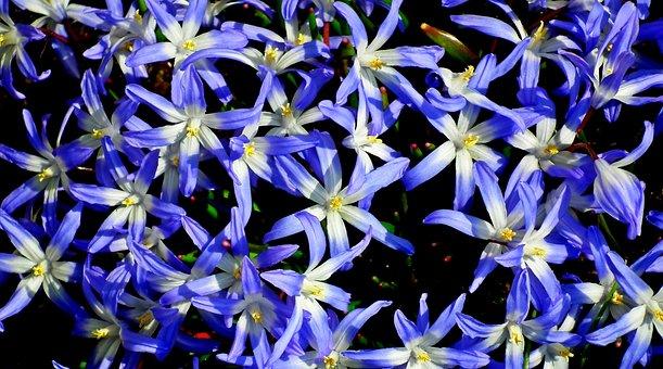 Flowers, My Stars, Blue, Nature, Closeup, Summer, Macro