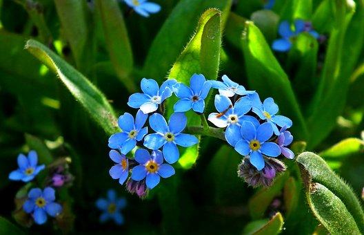 Nots, Flowers, Blue, Garden, Spring, Nature, Closeup