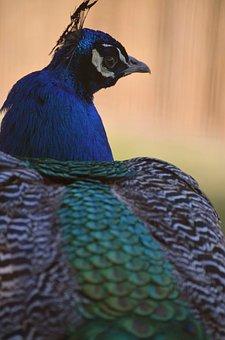 Pheasant, Bird, Wildlife, Animal, Colorful
