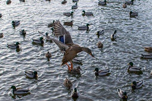 Ducks, Pond, Hidden Object, Wildfowl, Flying Duck