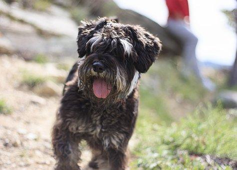 Dog, Schnauzer, Pet, Animal, Fur, Portrait