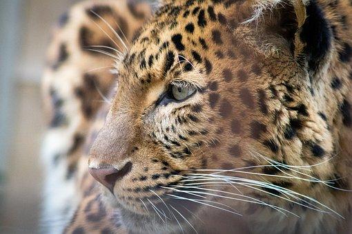 Predator, Cat, Leopard, Carnivores