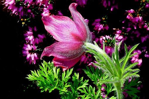Sasanka, Flower, Blooming, Spring, Plant, Violet