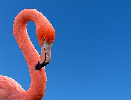 Pink, Flamingo, Bird, Bill, Plumage, Neck, Sky, Blue