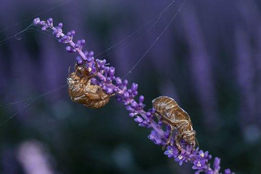 Cicada, Summer, Ecdysis, Liriope, Nature