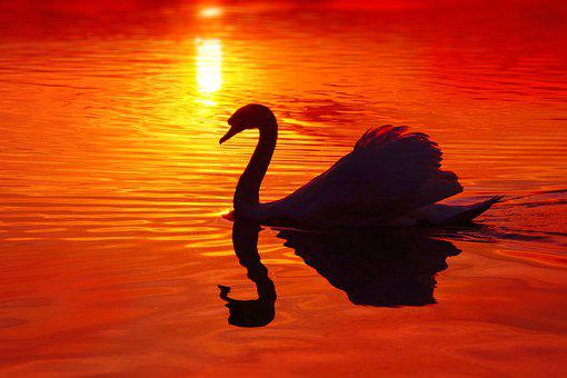 Swan, Silhouette, Afterglow, Sunset