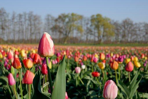 Tulip Field, Tulip, Spring, Bloom, Flowers