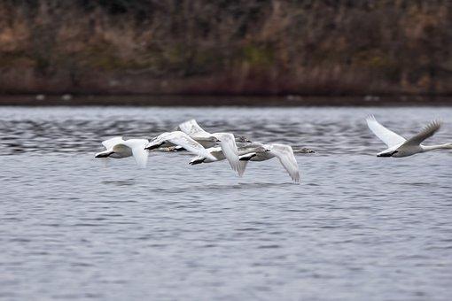 Animal, Pond, Water, Bird, Wild Birds, Swan