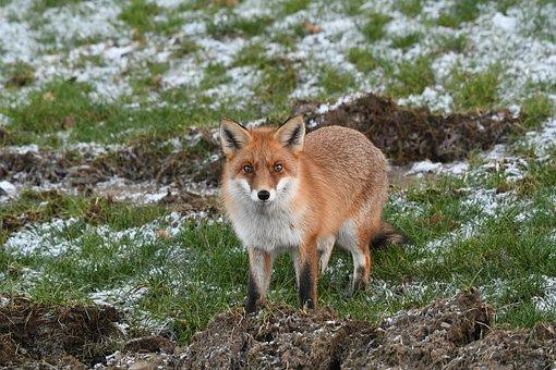 Fox, Predator, Wild, Animal World, Animal, Wanted