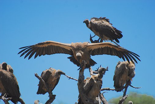 Vulture, Vultures, Namibia, Africa